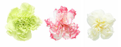 Blommahuvud av nejlikan Royaltyfri Fotografi