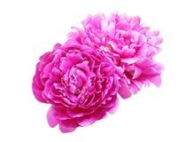 Blommahuvud av pionen Royaltyfri Bild