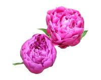Blommahuvud av pionen Royaltyfria Foton