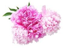 Blommahuvud av pionen Royaltyfri Foto