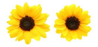 Blommahuvud av solrosen Royaltyfria Bilder