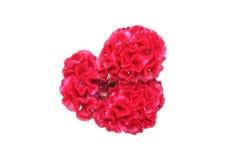 Blommahuvud av tuppkammen Arkivfoto