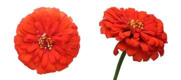 Blommahuvud av zinniaen royaltyfri foto