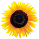 Blommahuvud för gemensam solros, isolerat blommande släkte Helianthus Royaltyfri Fotografi