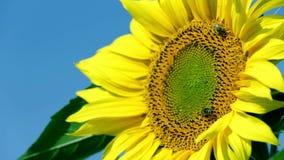 Blommahuvud på varm dag med två bin som omkring går stock video