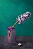 blommahyacint Royaltyfri Fotografi