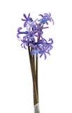 blommahyacinthus Arkivfoton
