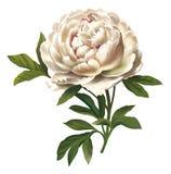 blommaillustrationpion royaltyfri illustrationer