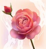 blommaingreppsorangen steg Royaltyfri Fotografi
