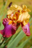 blommairis Royaltyfri Fotografi