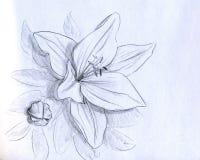 blommairisblyertspennan skissar Arkivfoto
