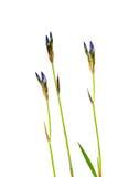 Blommairisisolat på en vit bakgrund Arkivfoton