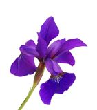 blommairispurple Fotografering för Bildbyråer