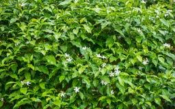 Blommajasminen, gräsplan lämnar Arkivfoto