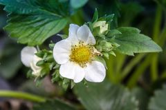 Blommajordgubbar med gr?na sidor arkivbild