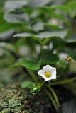 blommajordgubbe Arkivfoto