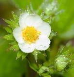 blommajordgubbe Royaltyfri Fotografi
