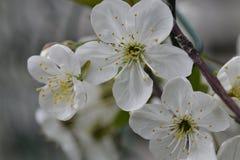 Blommakörsbär i blomning Arkivfoto