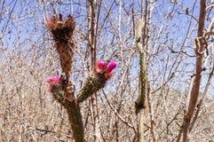 Blommakaktus mellan torra buskar arkivfoton