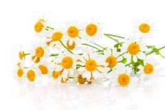 Blommakamomill arkivfoto