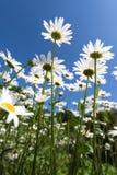 Blommakamomillar och solljus Arkivfoto