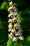 Blommakastanjcloseup Arkivfoto