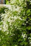 Blommaklematis Paniculata som växer i trädgård fotografering för bildbyråer