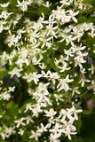 Blommaklematis Paniculata som växer i trädgård royaltyfria bilder