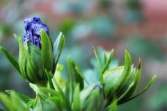 Blommaknopp Arkivfoto