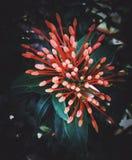 Blommaknoppar Arkivbild