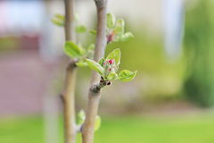 Blommaknoppar av äpplet Arkivbild