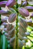 Blommaknoppar i processen av att blomma royaltyfri fotografi