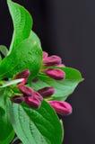 Blommaknopparna av en weigela Arkivfoto