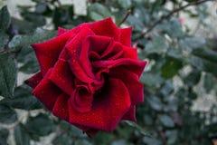 Blommaknoppen steg royaltyfria bilder