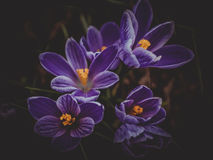 Blommakrokusar Royaltyfri Fotografi