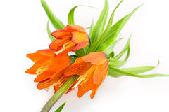Blommakrona Royaltyfria Foton