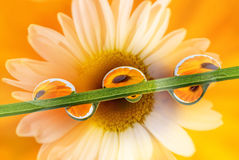 Blommakronblad med droppe Arkivbild