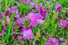 Blommakronblad på gräset Arkivbild
