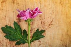 Blommakrysantemum Arkivbild