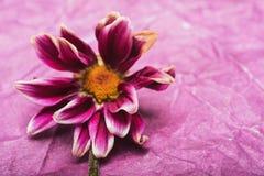 Blommakrysantemum Arkivbilder