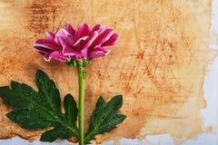 Blommakrysantemum Arkivfoto
