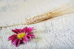 Blommakrysantemum Royaltyfri Bild