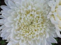Blommakrysantemum royaltyfria bilder