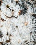 Blommakrysantemum, slut upp som är retro arkivfoto
