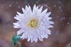 Blommakrysantemumet på bakgrundsbokeh med vatten tappar royaltyfri foto