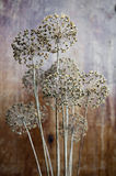 blommalökfrö Royaltyfri Bild
