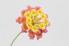 BlommaLantana som isoleras på en vit bakgrund Royaltyfria Bilder
