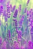 Blommalavander Arkivfoto
