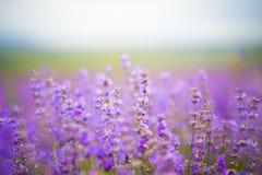 Blommalavendelfält royaltyfri foto