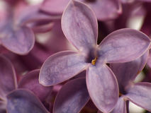 blommalilasyringa Royaltyfri Fotografi